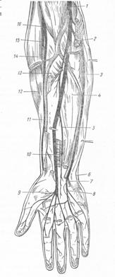 Длинные нервы плечевого сплетения