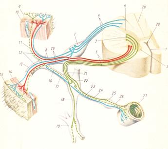 Общие данные об автономной нервной системе